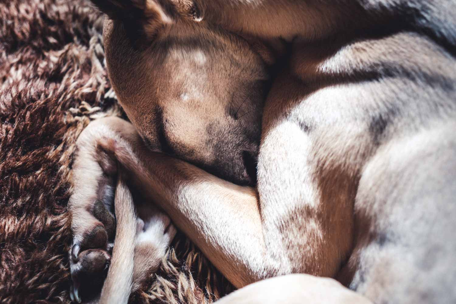 Whippet curled up on a rug with its nose tucked under its left leg